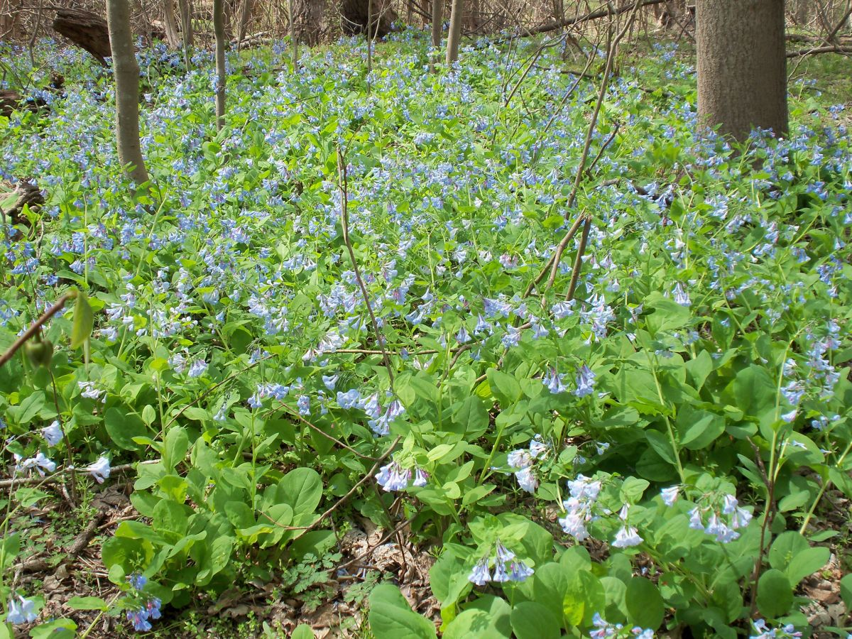 Bluebells and spring 002.jpg