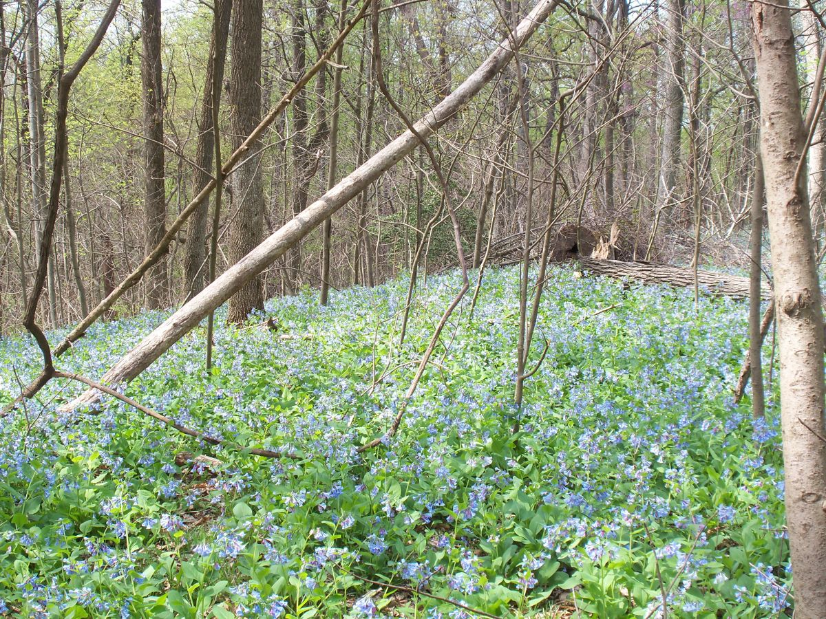 Bluebells and spring 007.jpg